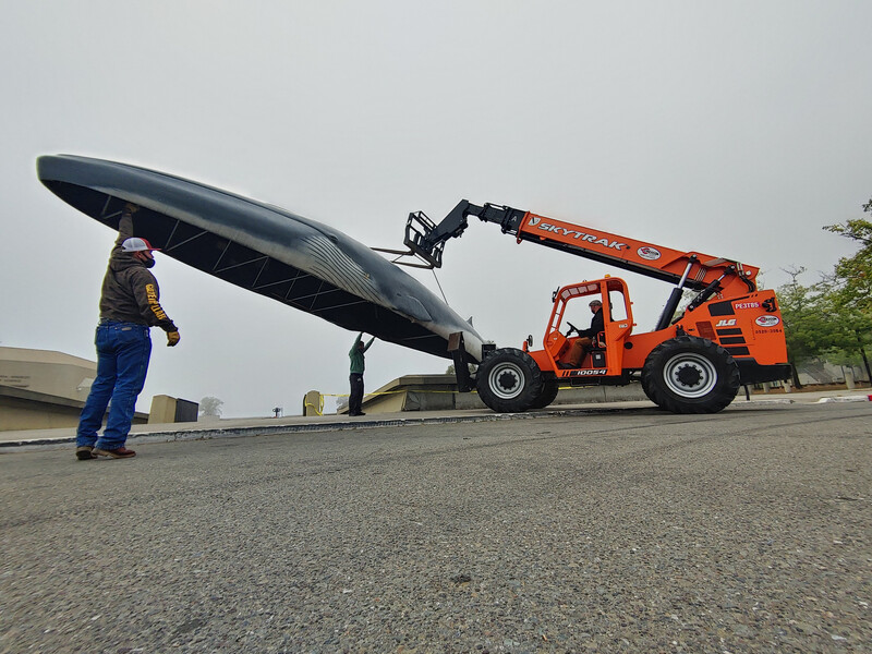 Lawrence Berkeley fin whale Pheena gets moved for refurbishment.